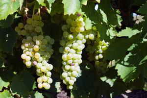 grapes1325793_72271627